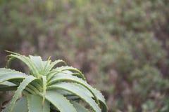 Flowerless Aloe allein lizenzfreie stockfotografie