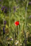 Floweron da papoila o prado Foto de Stock Royalty Free