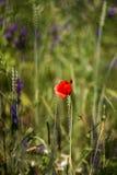 Floweron del papavero il prato Fotografia Stock Libera da Diritti
