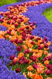 Flowerpath. A path of flowers with tulips and common grape hyacinth Royalty Free Stock Images