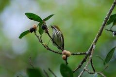flowerpecker αερισμένος κίτρινος Στοκ Εικόνες