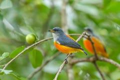 五颜六色的鸟橙色鼓起的Flowerpecker 免版税图库摄影