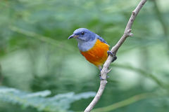 泰国的橙色鼓起的Flowerpecker Dicaeum trigonostigma公鸟 免版税库存照片