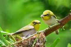 Flowerpecker en naturaleza Fotografía de archivo