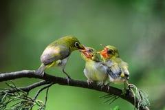 Flowerpecker que lo alimenta es joven Imagen de archivo