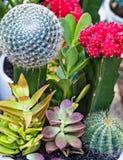 Flowerpot κάκτων ανθίζοντας εγχώριος κήπος λουλουδιών στοκ εικόνες με δικαίωμα ελεύθερης χρήσης