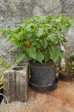 Flowerpot καυτά σκωτσέζικα εγκαταστάσεις και φρούτα πιπεριών Whith στοκ εικόνες