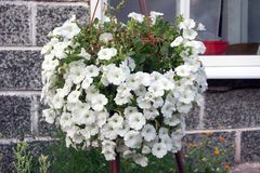 Flowerpot με τα πολύβλαστα λουλούδια της άσπρης πετούνιας κρεμά έξω από το σπίτι στοκ φωτογραφία με δικαίωμα ελεύθερης χρήσης