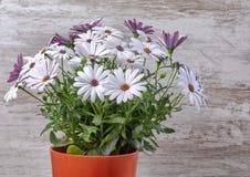Flowerpot με το ιώδες ξύλινο υπόβαθρο μαργαριτών στοκ εικόνα