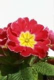 Flowerpot με το ρόδινο και κίτρινο λουλούδι στοκ φωτογραφία με δικαίωμα ελεύθερης χρήσης