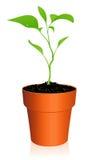 flowerpot νεαρός βλαστός Στοκ εικόνα με δικαίωμα ελεύθερης χρήσης