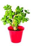 flowerpot φυτό succulent Στοκ Εικόνες