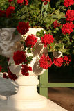 Flowerpot. With red flowers Royalty Free Stock Image