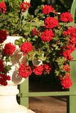 Flowerpot. With red flowers Stock Photo