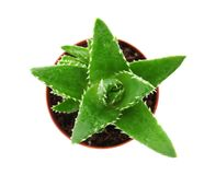 Flowerpot with aloe vera on white background top view. Flowerpot with aloe vera on white background, top view royalty free stock images