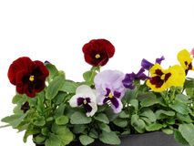 Flowerpot. Autumn flowers in a basket Royalty Free Stock Photography