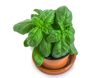Flowerpot with basil on white. Royalty Free Stock Image