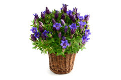 Flowerpot of blue gentian flower Royalty Free Stock Photo