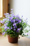 Flowerpot with bluebells Royalty Free Stock Photo