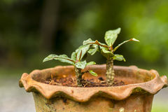 Flowerpot. Christ-Thorn closeup in flowerpot royalty free stock photography