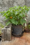 Flowerpot Whith Hot Scotch Pepper Plant And Fruits. In a flowerpot and between a concrete block, and a faucet and pipe is a scotch bonnet pepper plant with green stock images