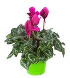 Flowerpot Cyclamen στοκ φωτογραφίες