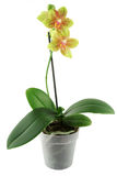 Flowerpot da orquídea Imagem de Stock Royalty Free
