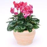 Flowerpot di Cyclamen Fotografia Stock
