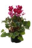 Flowerpot di Cyclamen immagini stock