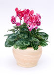 Flowerpot di Cyclamen fotografia stock libera da diritti