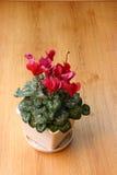 Flowerpot di Cyclamen Fotografie Stock
