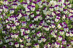 Flowerpot with dwarf pansy flowers royalty free stock photos