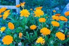 A flowerpot full of flowers in a garden. A flowerpot of an orange Calendula flowers stock photo