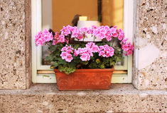 Flowerpot with geranium Royalty Free Stock Photo
