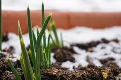 Flowerpot with green leaf of flowers on the snow balcony. Stock Photo