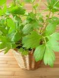flowerpot lubczyk Obraz Stock