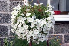A flowerpot with lush flowers of white petunia hangs outside the house. Flowerpot with lush flowers of white petunia hangs outside the house royalty free stock photo