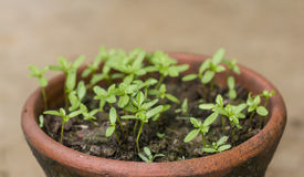 Flowerpot. Many sprout in red flowerpot stock images
