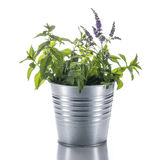 Flowerpot with a mint plant isolated on white background Stock Image