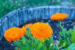 A flowerpot of an orange Calendula flowers. In a formal garden stock photos