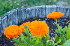 A flowerpot of an orange Calendula flowers. In summer royalty free stock photo