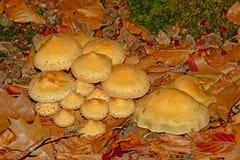 Flowerpot parasol mushrooms - Leucocoprinus birnbaumii. Flowerpot parasol mushrooms in between brown autumn leaves on the forest floor stock images