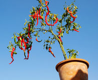 In the flowerpot of pepper tree Stock Photo