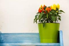 Flowerpot hot peppers on wooden shelf blue Royalty Free Stock Image