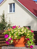 Flowerpot with petunia flowers near a home. Outdoors stock images