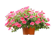 Flowerpot pink petunia flowers isolated stock images