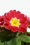Flowerpot with pink and yellow flower. A close view of the flowerpot with pink and yellow flower in front of a white background Royalty Free Stock Photography