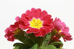 Flowerpot with pink and yellow flowers. A close view of the flowerpot with pink and yellow flowers in front of a white background Stock Images