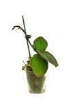flowerpot potomstwa odosobneni storczykowi biały Zdjęcia Stock