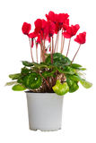 Flowerpot with red cyclamens. A flowerpot with red cyclamens isolated on white background Stock Image